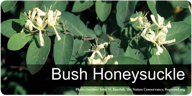 Bush Honeysuckle