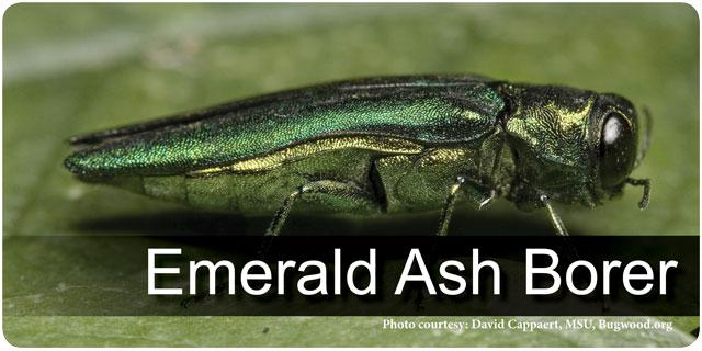 Emerald Ash Borer for Wood Industry
