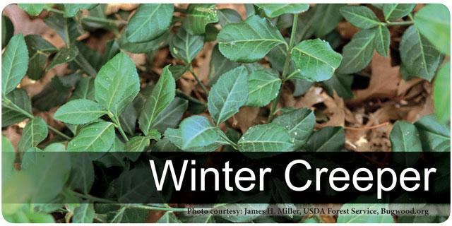 Winter Creeper