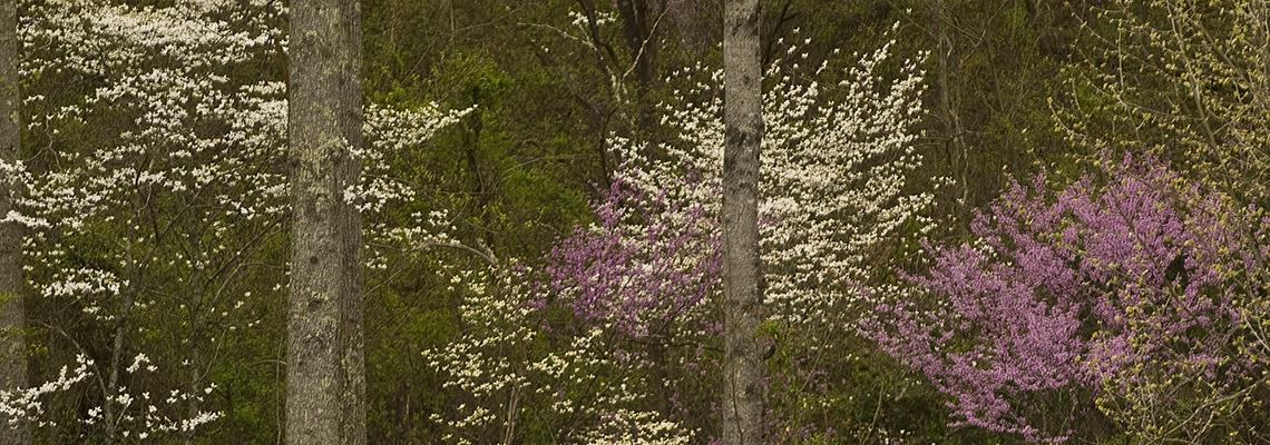 Photo of dogwoods and redbuds in the forest