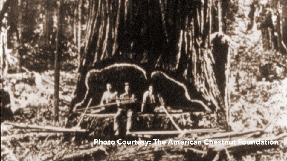 Photo Courtesy: The American Chestnut Foundation