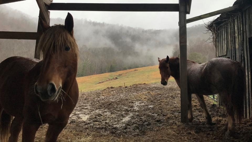 Photo of horses used in horse logging at Berea College.