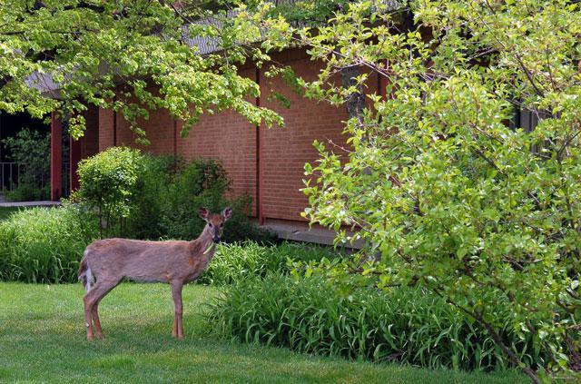 Deer being a nuisance.
