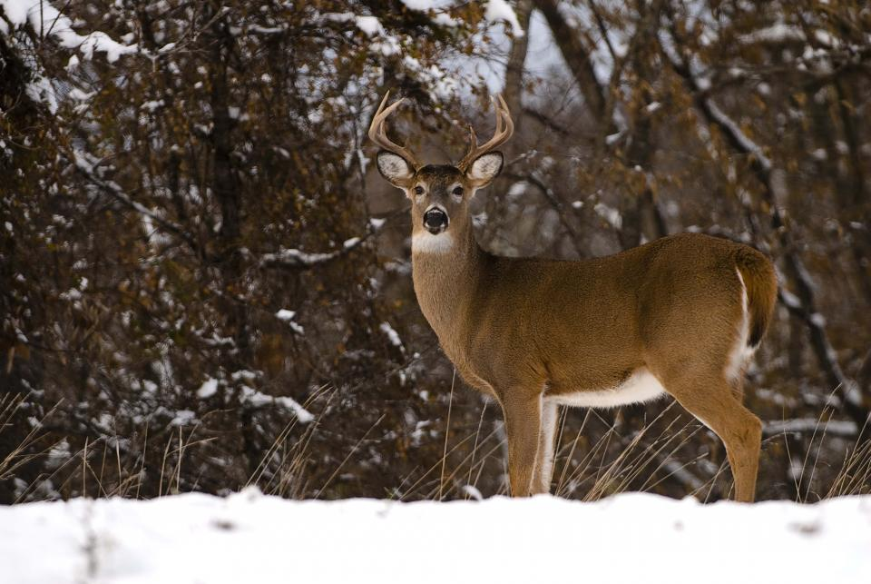Photo of deer. Photo by Tom Barnes