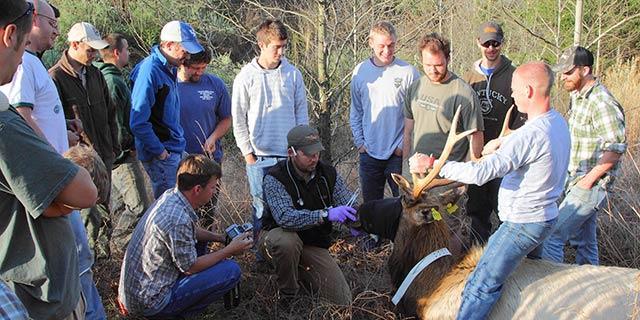 John Hast and Spring Field Semester students radio collaring a bull elk.