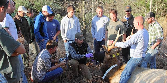 John Hast and Spring Field Semester students radio collaring a bull elk.