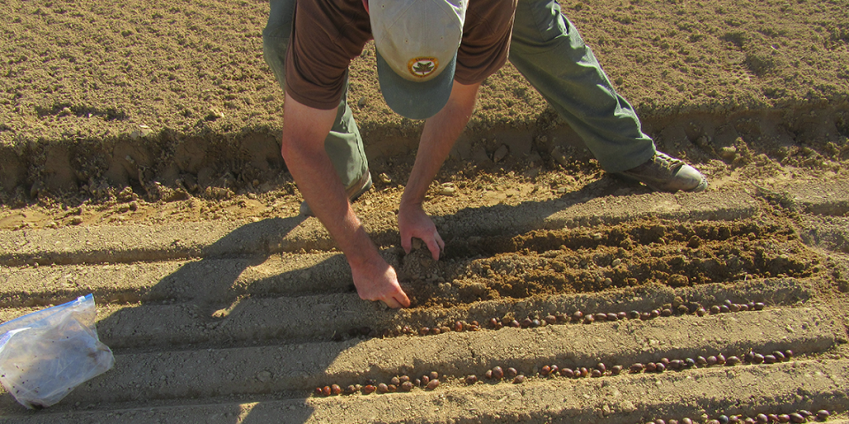 Photo of white oak acorns being hand planted at the KDF nursery