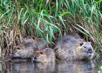 Beaver and young