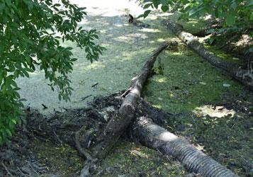 Beaver clogging up a drain.