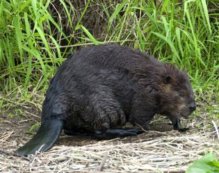Beavers have a paddle shaped tail.