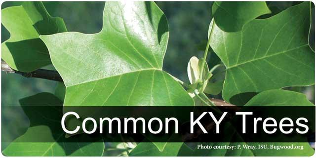 Common KY Trees