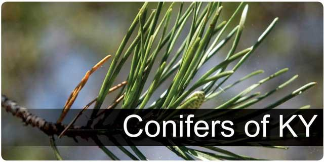 Conifers of KY