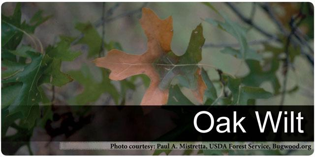 Oak Wilt Forestry And Natural Resources