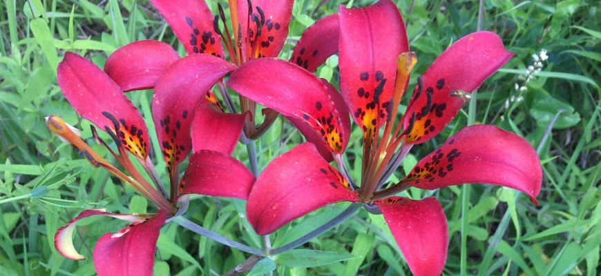 Photo of Wood Lily, state endangered Lilium philadelphicum. Photo by Tara Littlefield