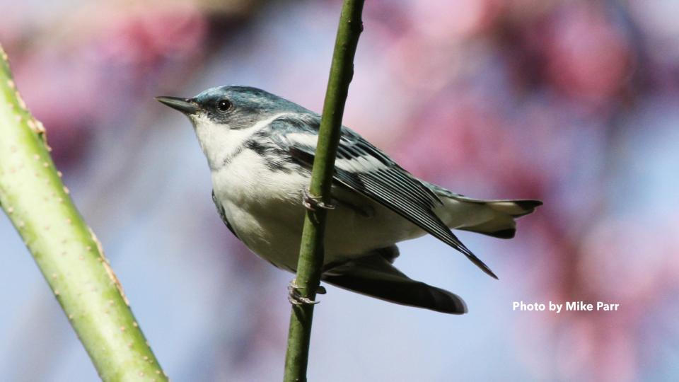 Photo of cerulean warbler by Mike Parr