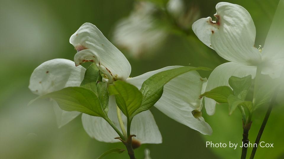 Flowering Dogwoods - Photo by John Cox