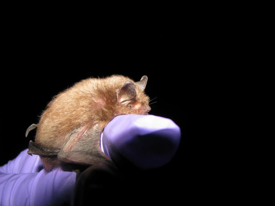 Photo of Indiana bat